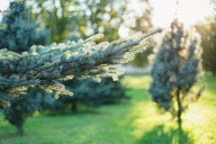 Small blue fir tree in sunset Royalty Free Stock Photography