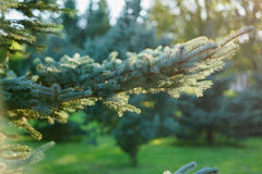 Small blue fir tree in sunset Stock Images