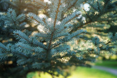 Small blue fir tree in sunset Stock Image