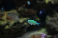 Small blue fish. In water Royalty Free Stock Photography