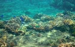 Small blue fishes in coral reef. Tropical seashore inhabitants underwater photo. Coral reef animal. Warm sea nature. Colorful sea fish and corals. Undersea Stock Images