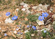 Small blue flax growing on the ground of meditteranean scrubland. Closeup of small blue flax blossoms growing on the ground of meditteranean scrubland Royalty Free Stock Photos