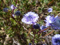 Small blue flower in blossom Royalty Free Stock Photos