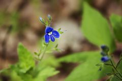 A small blue flower of a forest plant that blossomed in early spring stock image