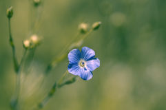 Small blue flower on a green background Stock Photos