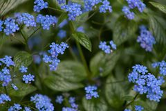 Small blue flowers Brunner macrophiles bloom in the spring garden royalty free stock images