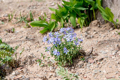 Small blue flowers in dry soil of garden Royalty Free Stock Photos