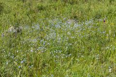 Small blue flowers in the field among the grass , Altai, Russia stock photos