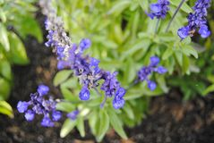 Small blue flowers Royalty Free Stock Photo