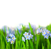 Small Blue Flowers into green Grass  / isolated on white backgro Royalty Free Stock Images