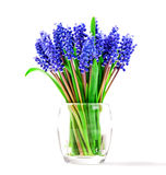 Small blue flowers isolated on white. Muscari Royalty Free Stock Photos