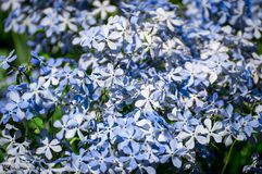Small blue flowers. A lot of the small blue flowers at the summer garden Royalty Free Stock Photos