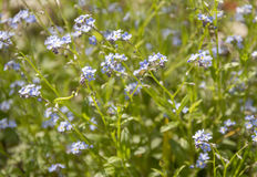 Small blue flowers Royalty Free Stock Photos