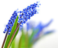 Small blue flowers Muscari Royalty Free Stock Images