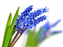 Small blue flowers Muscari Hyacinth Stock Photography