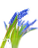 Small blue flowers Muscari in vase. Stock Photo