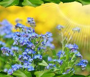 Small blue flowers nots -background,texture Royalty Free Stock Photo