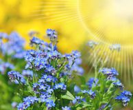 Small blue flowers nots - spring. In botanic garden royalty free stock photos