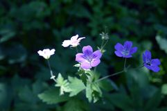 Small blue forest flower after the rain. Small blue forest flower, flower after rain on green plant background, the beauty of nature is in the details, plant stock photo