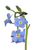 Small blue forget-me-not flowers isolated on white Royalty Free Stock Image