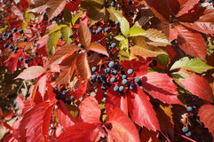 Small blue grapes and red leaves of the grapevine on a sunny day Royalty Free Stock Images
