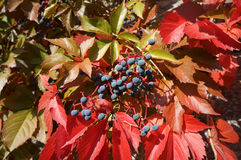 Small blue grapes and red leaves of the grapevine on a sunny day Royalty Free Stock Image