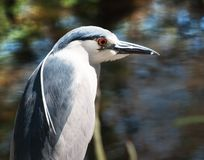 Small Blue Heron. A blue heron is on the prowl for food in the marsh grass of South Carolina Stock Photos