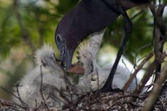 Small blue heron babies Royalty Free Stock Photo