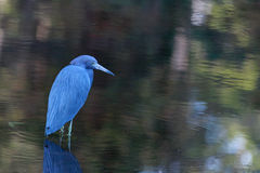Small Blue Heron Royalty Free Stock Images