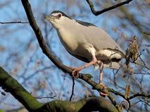 Small blue heron Royalty Free Stock Image