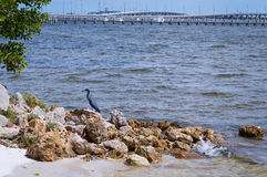 Small Blue Heron. A Small Blue Heron scavenging for an afternoon snack on the shores of Charlotte Harbor in southwest Florida stock images
