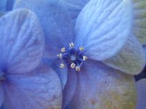Small blue hydrangea flower close up. Closeup of a blue hydrangea flower with the center of the flower highlighted stock images