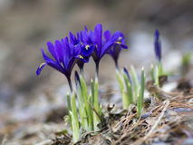 Small blue irises blossoming in early spring Stock Photos