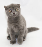 Small blue kitten Scottish Fold sitting looking anxiously toward. On gray-white background Royalty Free Stock Photography