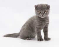 Small blue kitten Scottish Fold sitting, staring sadly into the Stock Photos