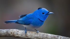 Small blue songbird Royalty Free Stock Photo