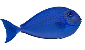 Small blue spotted fish isolated on white Royalty Free Stock Image