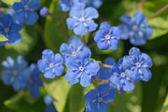 Small blue spring flowers Royalty Free Stock Images