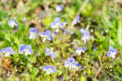 Small blue spring flowers on the sunlit meadow Stock Photos