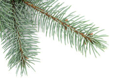 Small blue spruce branch Stock Photography