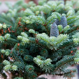 Small Blue Spruce and fruit Stock Image