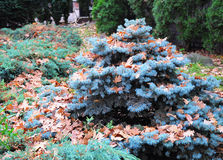 Small Blue spruce with oak leaves in autmn. Landscape design. Royalty Free Stock Photos