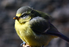 Small Blue-Tit Stock Image