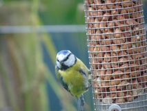 Blue tit eating peanuts stock image