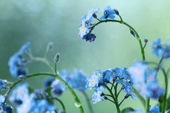 Small blue wild flowers Royalty Free Stock Images