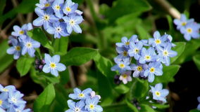 Small blue wild flowers stock footage
