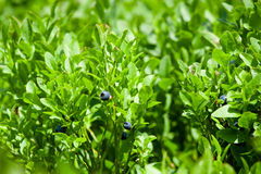 Small blueberries Stock Photo