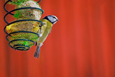 Small bluetit Stock Photography