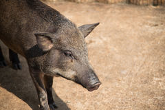 Small boar Stock Image