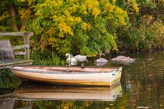 Small boat in the lake with young swans swimming around royalty free stock photo
